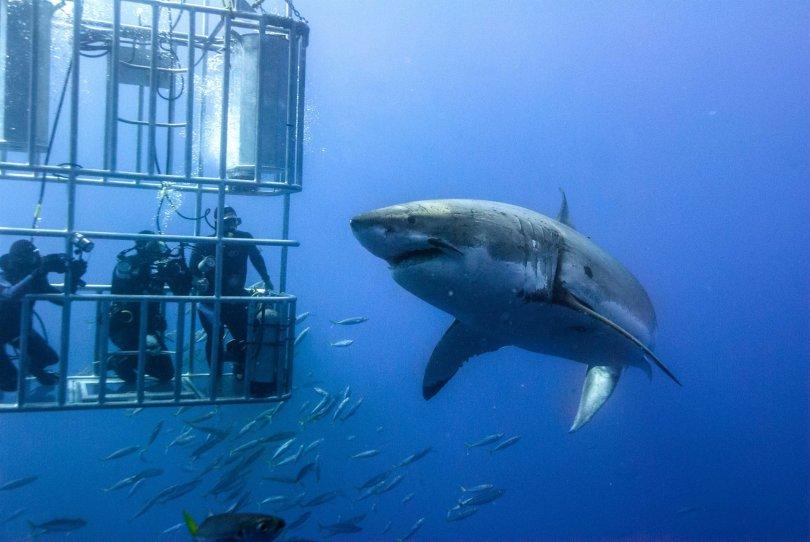 O Que é Mais Importante No Mergulho Com Tubarões